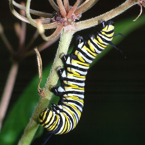 Picture of a monarch larva on a milkweed stem.