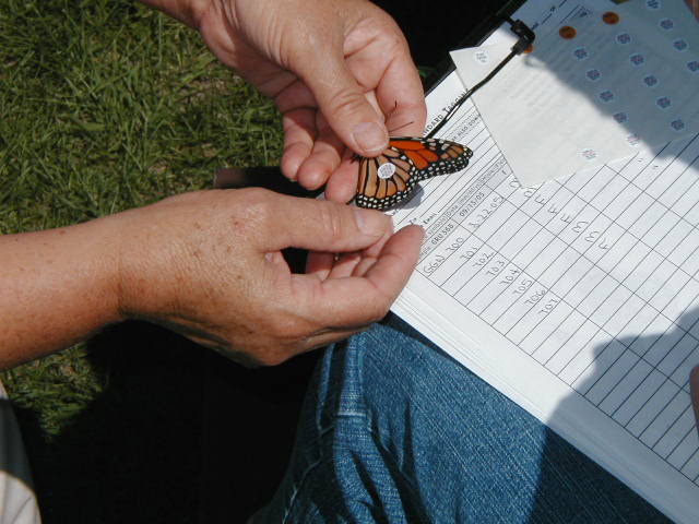 Picture of a tagged monarch butterfly being held by one person over a clip board and data sheet in the lap of another person.