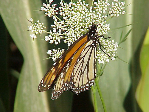 Picture of a monarch butterfly on a white flower.