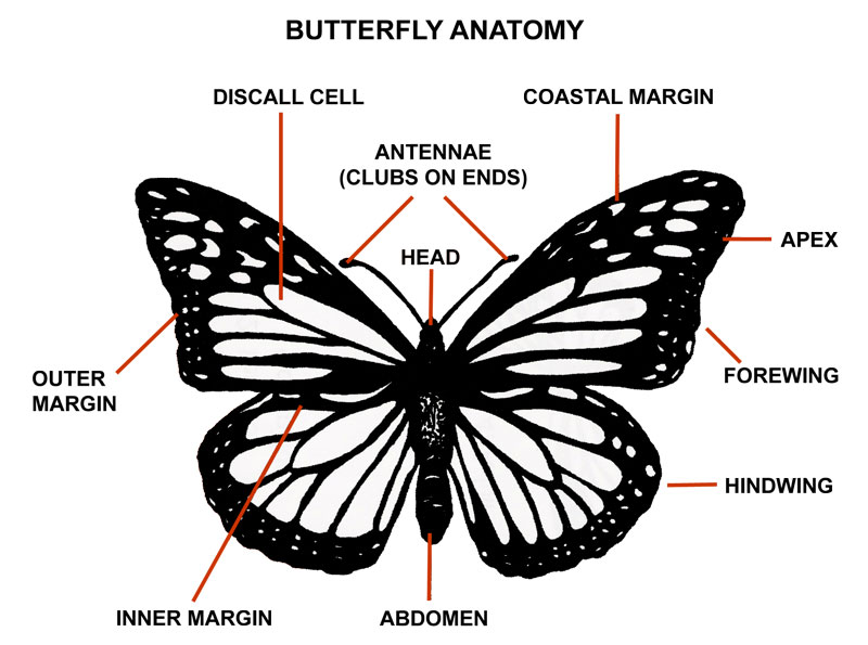 Graphic displaying the anatomy of a butterfly with the major parts labeled.