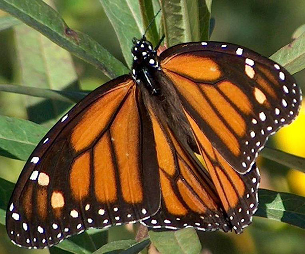 Picture of a monarch butterfly.