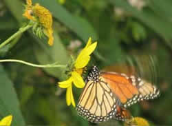 Picture of a butterfly fluttering on a yellow flower.