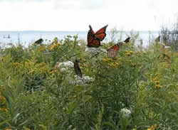 Picture of monarch butterflies on goldenrod and other flowers along the shoreline of Peninsula Point, Lake Michigan.