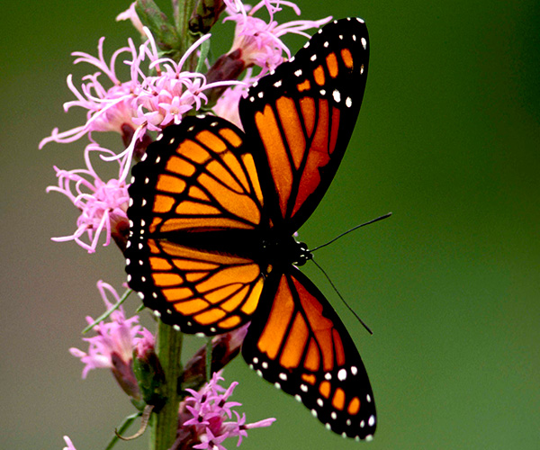 Picture of a viceroy butterfly.