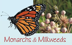 Monarchs and Milkweeds. Monarch butterfly adult and larvae.