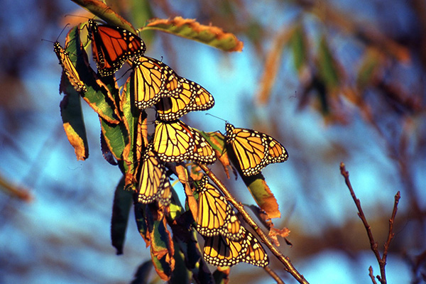 Closeup picture of adult Monarch butterflies congregating on a branch.