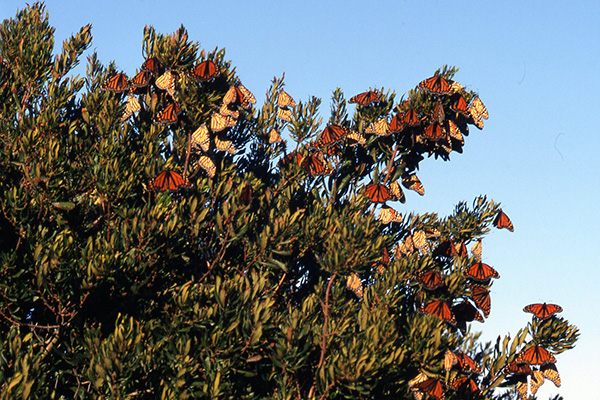 Picture of adult Monarch butterflies congregating in a bayberry thicket.