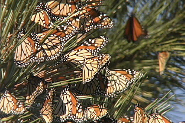 Picture of adult Monarch butterflies congregating on a pine branch.