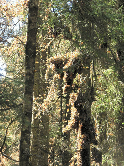 Picture of thousands of Monarch butterflies clustering in trees.