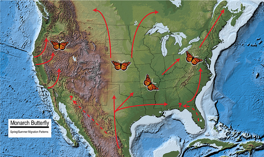 Map Of North America Showing The Spring And Summer Migration Patterns Of The Monarch Butterfly