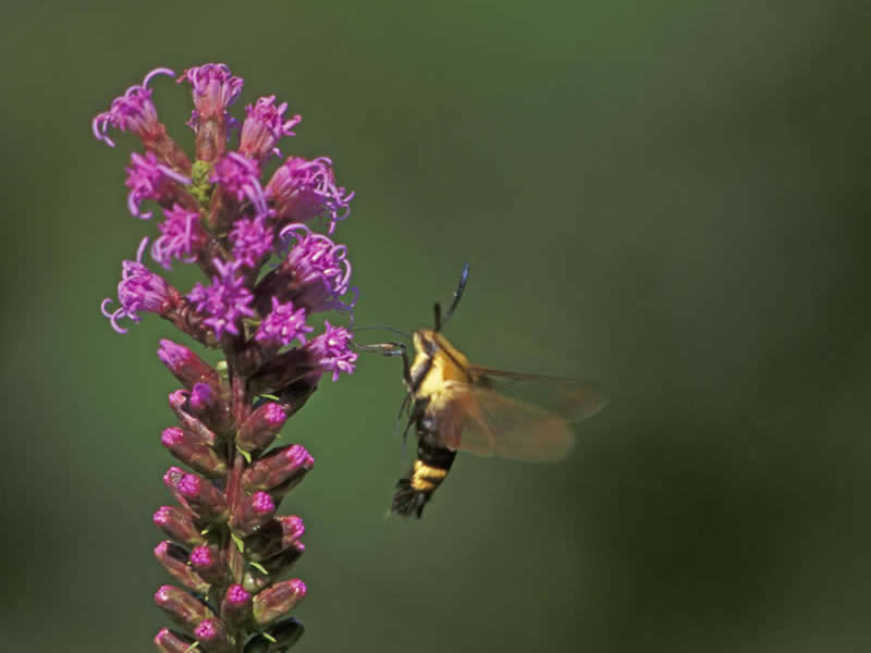 A clear wing hawkmoth hovers and samples nectar from this Liatris spicata.