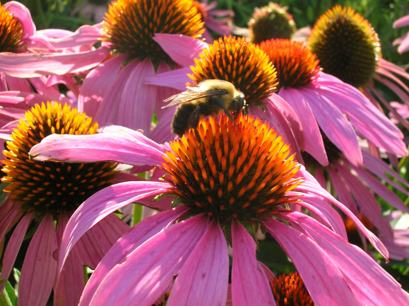 Bee on a purple coneflower.
