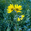 prairie sunflower