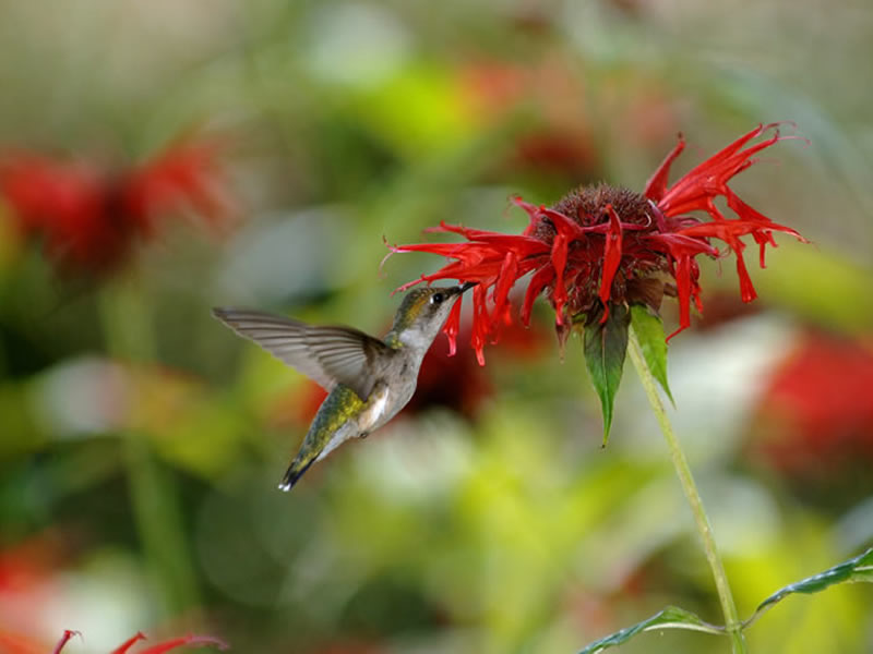A ruby-throated hummingbird samples a scarlet beebalm flower.