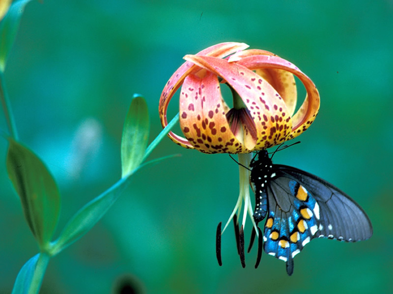 A butterfly on a Turk's cap lily.