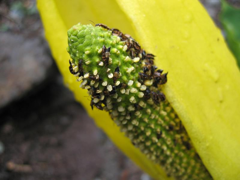 Tiny yellow skunk cabbage flowers being pollinated by beetles.