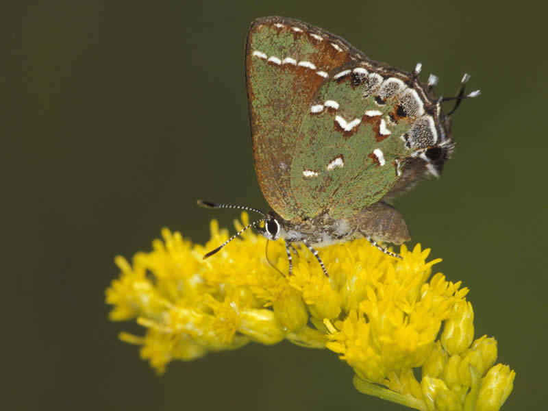 An olive butterfly on olive early goldenrod.