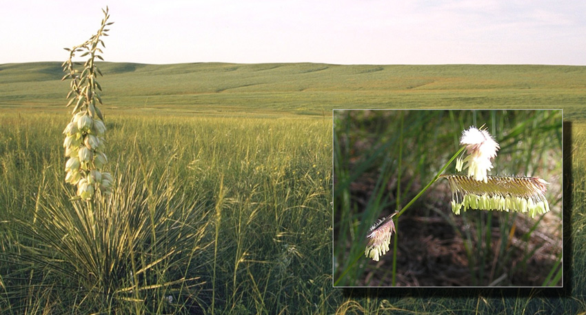 Grasslands, a yucca in the forground, and an inset picture of a grass plant in anthesis.