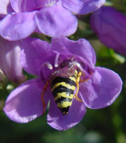 Wasp visiting a penstemon flower.