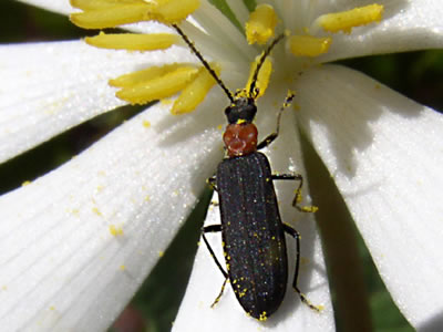 beetle on a white flower.