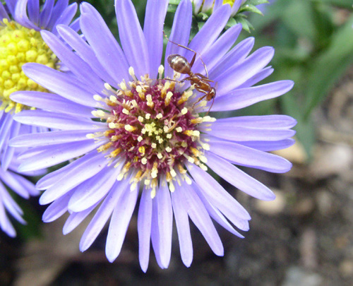 Ant on a purple aster.