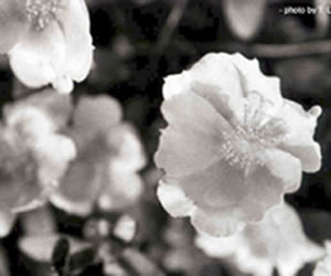 flower as humans view it. A black and white view of the flower.
