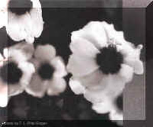 A the flower as bees may view it. A less detailed black and white image. The centers of the flower are dark.