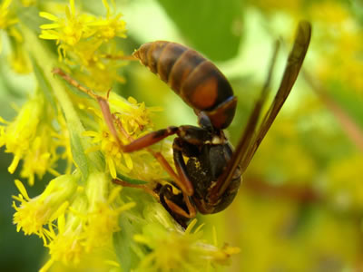 Paper wasp on a goldenrod.