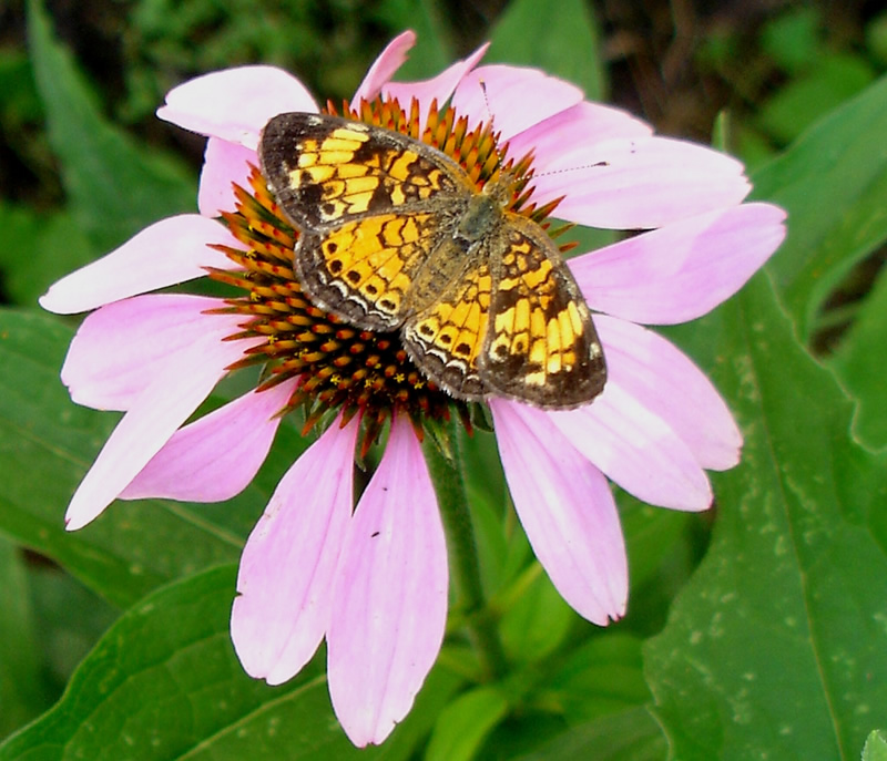 checkerspot on an echinacea flower.