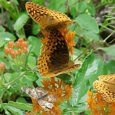 fritillary butterflies and crescent butterfly on butterfly weed (Asclepias tuberosa).