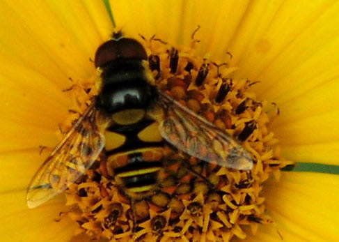syrphid fly on a yellow flower.