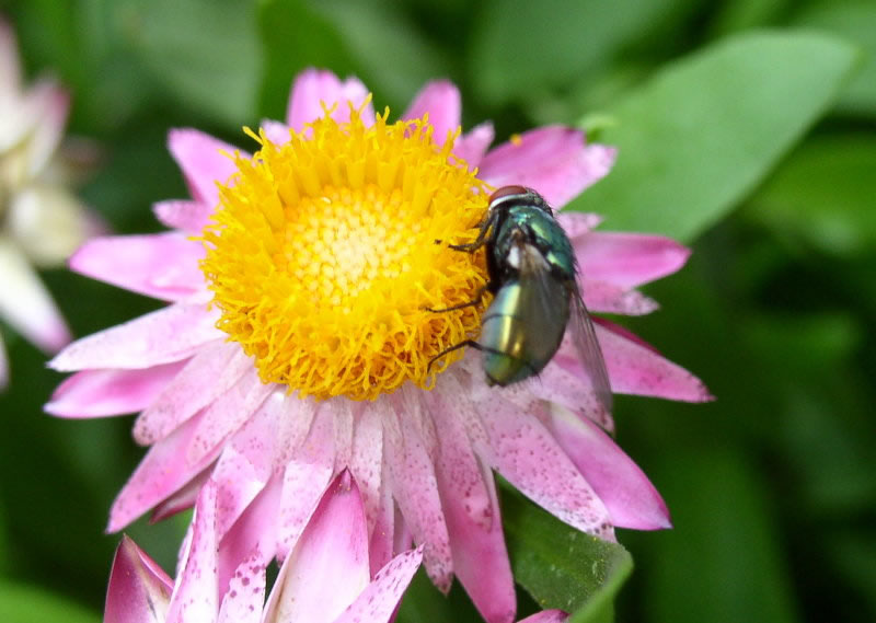 green bottle fly on a pink flower.
