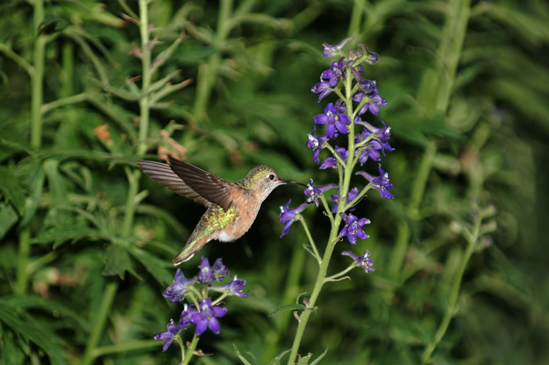 hummingbird and a purple flower.