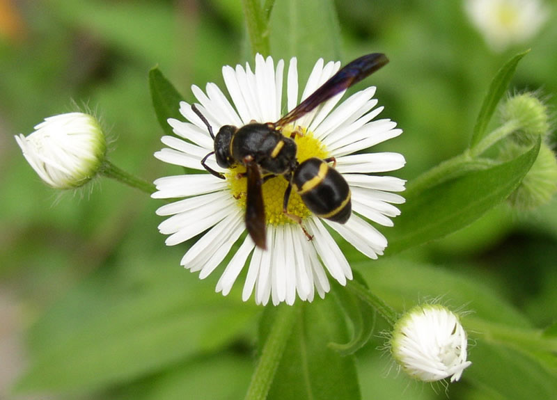 Potter wasp on a white aster flower.