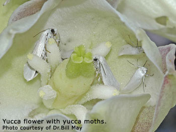 yucca moths in a yucca flower.