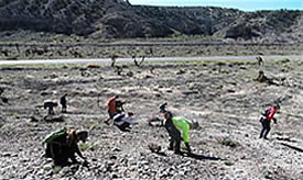 Volunteers planting Joshua tree seeds within the Carpenter 1 Fire burn area.