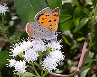 American copper butterfly on a white flower.