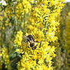 Bumble bee foraging on goldenrod, Solidago sp.
