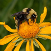 A cuckoo bumblebee (Psithyrus insularis) searching for pollen and nectar on sneezeweed (Dugaldia hoopsii).
