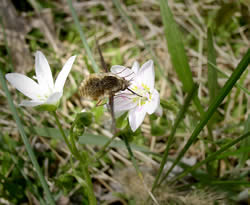 Bee fly visiting a spring beauty.