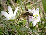 Bee fly.