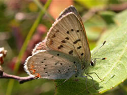 Bog Copper female.