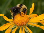 cuckoo bumblebee searching for pollen and nectar on a sneezeweed flower.