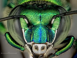 Close-up of an orchid bee's head.
