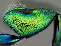 Close-up of an orchid bee's leg.