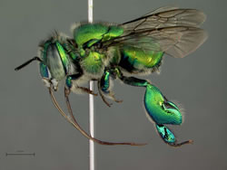 Orchid bee.