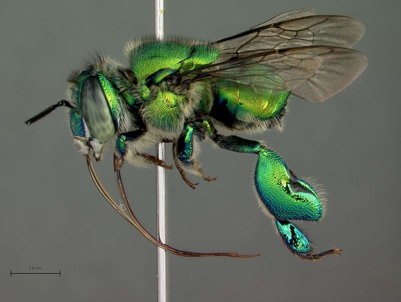 Orchid Bees The Euglossines