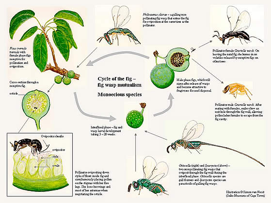 Illustration describing the cycle of the fig: fig wasp mutualism.