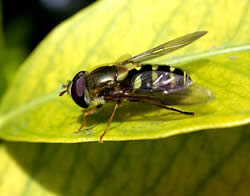 flower fly on a yellow leaf