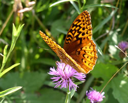 Fritillary. Photo by Beatriz Moisset.